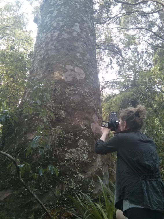 Jill looking up a ancient Kauri tree.