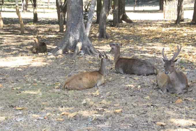 Deer on Komodo Island.