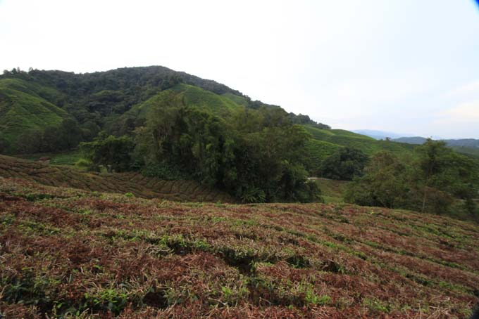 Indonesia-CH-36-BOH Tea Plantation