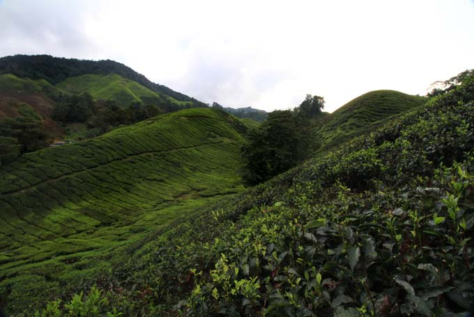 Indonesia-CH-38-BOH Tea Plantation
