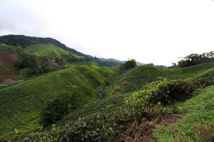 Indonesia-CH-39-BOH Tea Plantation
