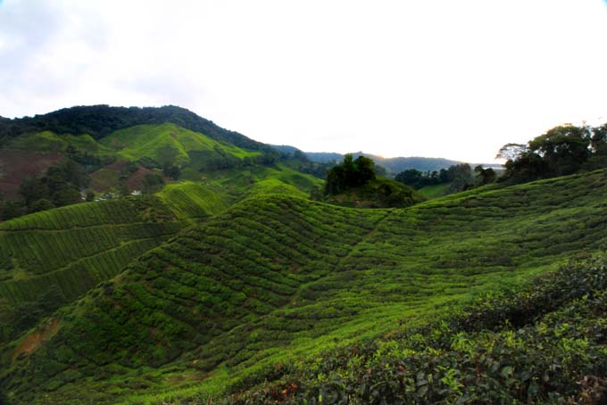 Indonesia-CH-40-BOH Tea Plantation
