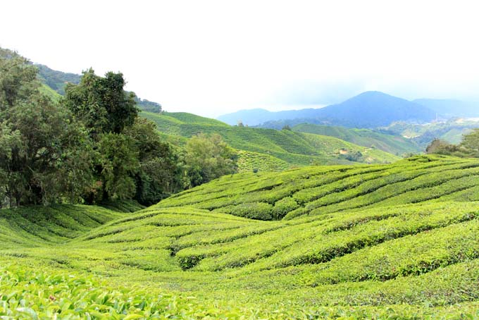Indonesia-CH-44-BOH Tea Plantation
