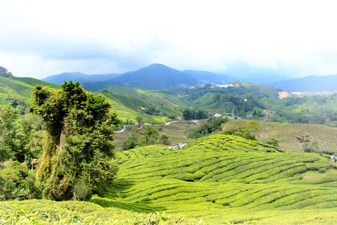 Indonesia-CH-45-BOH Tea Plantation