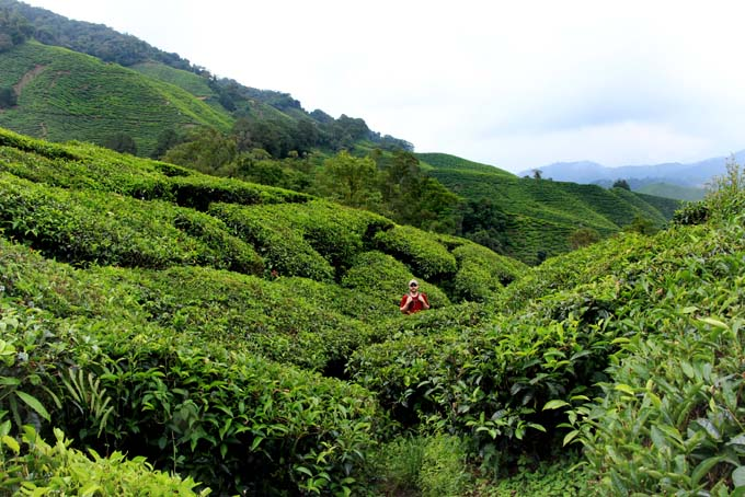 Indonesia-CH-53-BOH Tea Plantation