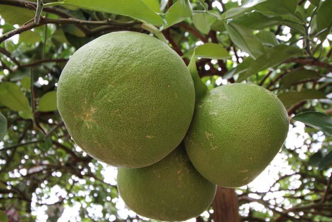 Malaysia-Ipoh Fruit Garden-03