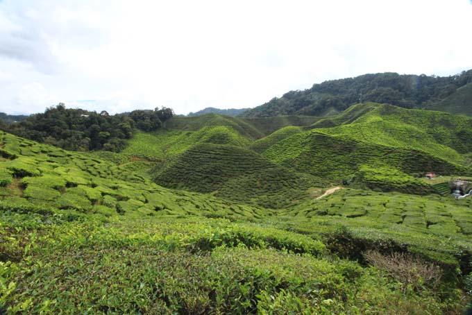 Baharat Tea Plantation-06