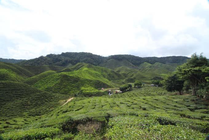 Baharat Tea Plantation-07