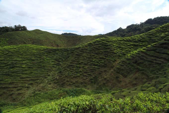 Baharat Tea Plantation-11