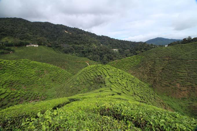 Baharat Tea Plantation-13