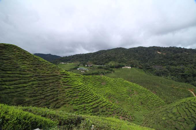 Baharat Tea Plantation-14