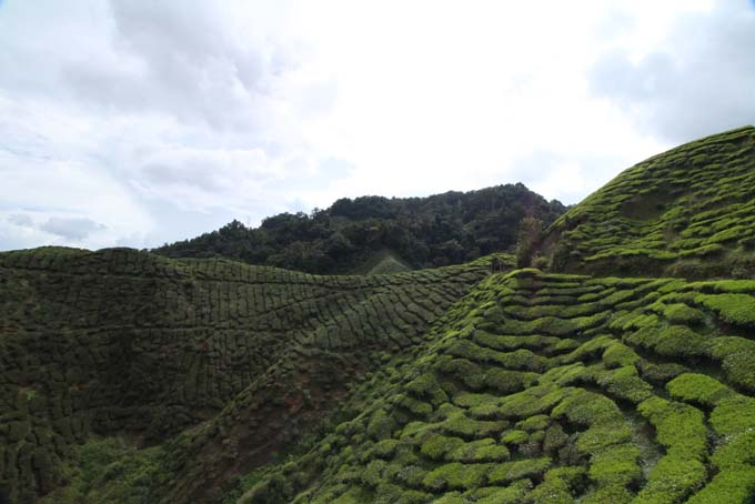 Baharat Tea Plantation-15