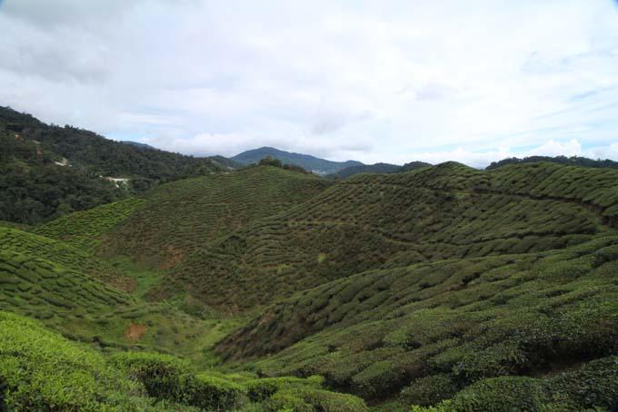 Baharat Tea Plantation-16