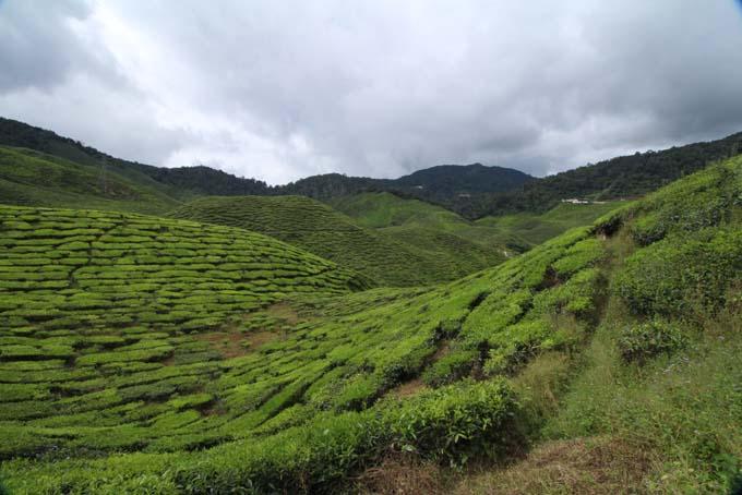 Baharat Tea Plantation-17