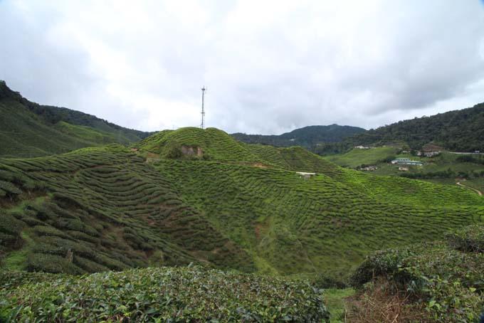 Baharat Tea Plantation-18