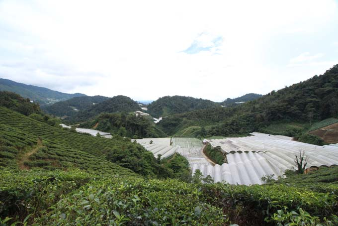 Baharat Tea Plantation-19