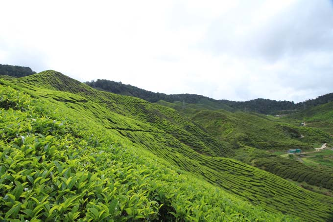 Baharat Tea Plantation-20