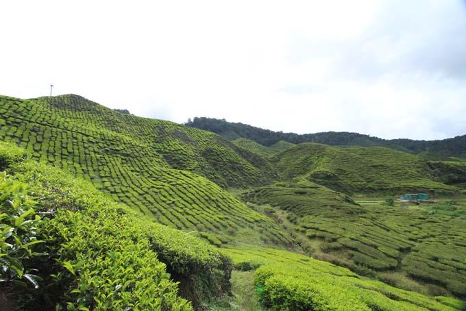 Baharat Tea Plantation-21