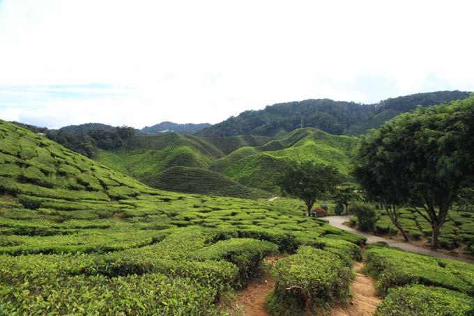 Baharat Tea Plantation-22